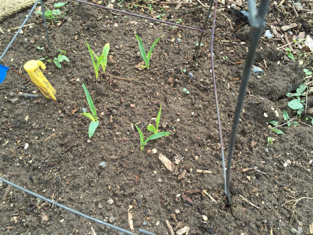 Hopi blue corn sprouting just a week after planting 12 inches deep.