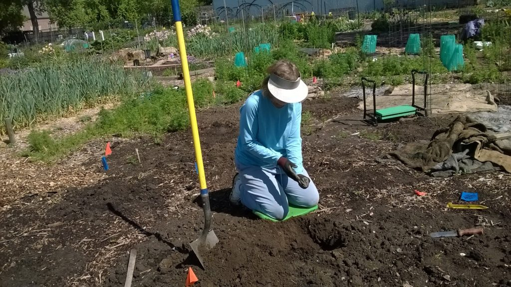 Jackie plants the 2016 Hopi Blue Corn seeds 12 inches deep.