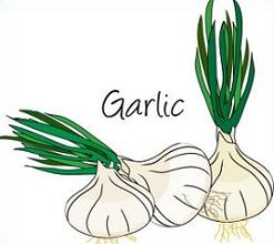 Garlic Clipart